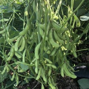 浙江台湾75-3-毛豆种子