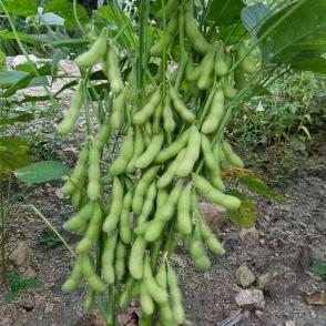 浙江沪宁95-1-毛豆种子